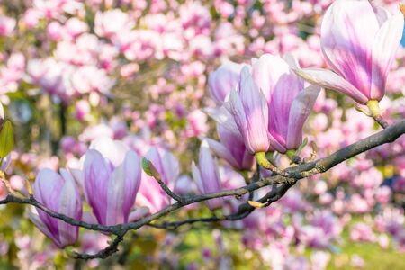 blossom of magnolia tree. beautiful pink flowers on the branches in sunlight. wonderful spring nature background Stock Photo