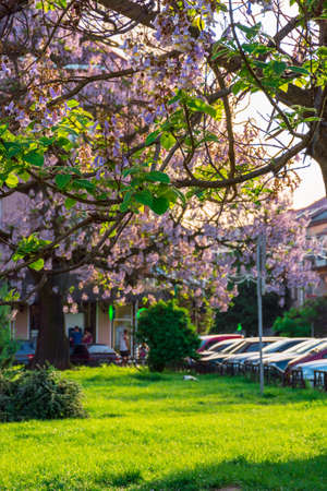 Uzhhorod, ukraine - MAY 01, 2018: Paulownia tomentosa tree in blossom close up, located on Koriatovycha Square. wonderful branches with flowers in frnt of old town cityscape in evening light