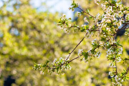 apple branch in white blossom. beautiful green nature background on a sunny day in spring. blurred background Stock Photo