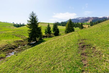 valley of borzhava mountain ridge in springtime. small brook among spruce trees on the green grassy meadow. wonderful rural landscape on a bright sunny day. snow on the summits
