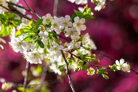 white apple blossom on a magenta background. tender flowers on the branches in spring. warm sunny weather Stock Photo