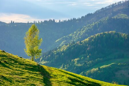 tree on the hill in evening light. green grass on the steep slope. beautiful mountain landscape in springtime