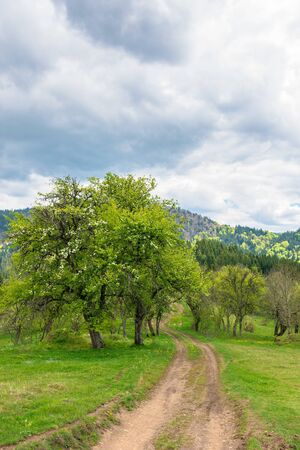 path through abandoned orchard in mountains.  apple trees in blossom on a cloudy springtime day