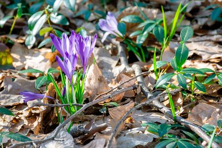 wild saffron flowers in the forest. wonderful sunny day in springtime Stock Photo - 142366547