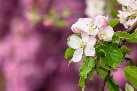 apple branch in white blossom. beautiful pink nature background on a sunny day in spring. blurred background Stock Photo