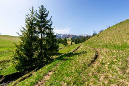 valley of borzhava mountain ridge in springtime. small brook among spruce trees on the green grassy meadow. wonderful countryside on a bright sunny day. snow on the summits