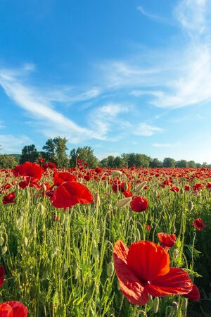 red poppy field at sunset. clouds on the blue sky. sunny weather