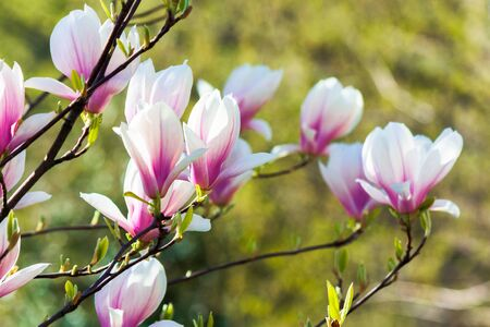 pink magnolia blossom background. beautiful nature scenery with delicate flowers in springtime