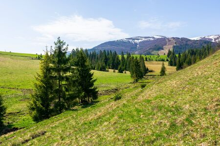 valley of borzhava mountain range in springtime. small brook among spruce trees on the green grassy meadow. wonderful countryside on a sunny day. snow on the summits Stock Photo