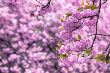 pink cherry blossom close up on the branch. beaty of japanese sakura season. wonderful nature background