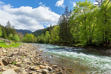 mountain river among the forest in spring. trees, grass and stoner on the shore. beautiful nature landscape. wonderful sunny weather with gorgeous sky