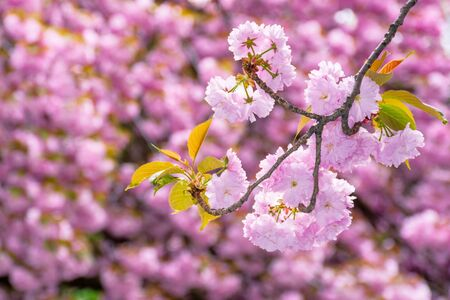 blossoming cherry tree background. wonderful pink flowers on the branches in spring