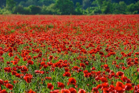 red poppy flower field. beautiful nature scenery in summer afternoon Stock Photo