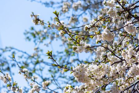 apple branch in white blossom. beautiful nature background on a sunny day in spring. blurred background