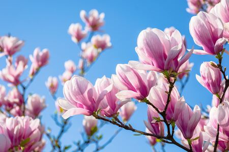 magnolia on the blue sky background in the morning. beautiful springtime scenery in the garden Stock Photo