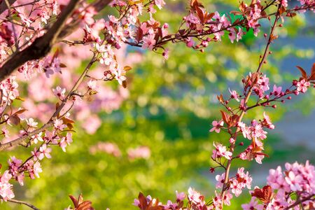 apple branch in pik blossom. beautiful nature background on a sunny day in spring. blurred background Stock Photo