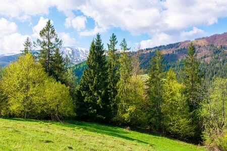 wonderful landscape in springtime. row of trees on the meadow. mountain ridge beneath a blue sky with fluffy clouds in the distance. warm bright weather