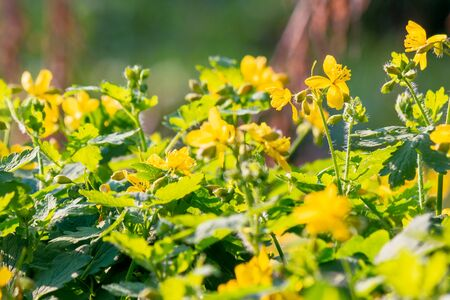 yellow blooming of the greater celandine. wild herbs on the grassy meadow on a sunny day. the plant from poppy family is also known as Chelidonium majus or tetterwort an used in medicine Stock Photo