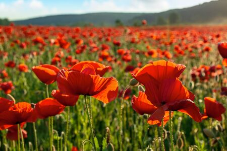 red poppy flower field in the mountains. beautiful nature scenery in summer afternoon Stock Photo