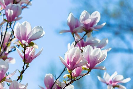 pink magnolia blossom background. beautiful nature scenery with delicate flowers in springtime beneath a blue sky