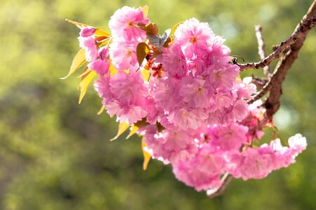 sakura close up in the morning. beautiful springtime background in the garden Stock Photo