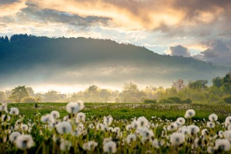 field of dandelion in morning light. beautiful nature scenery with fluffy flowers on the meadow in spring. picturesque countryside environment with distant mountains in fog Stock Photo