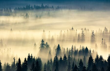 glowing fog in the valley at sunrise. mysterious nature phenomenon above the coniferous forest. spruce trees in mist. beautiful nature scenery Stock Photo