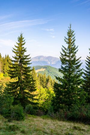 spruce trees on the meadow in mountains. beautiful sunny scenery with distant valley and hills in morning light