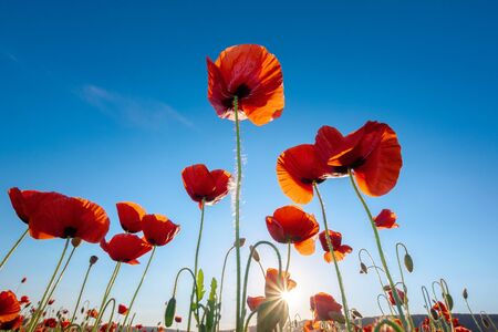 red poppy on the blue sky background. wonderful nature scene
