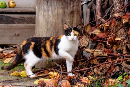 curious calico cat walking outside. predator in the autumn garden. fruit composition on the background. thanksgiving concept
