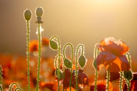 red poppy bloom on meadow in evening light. wonderful nature background in summer landscape Stock Photo