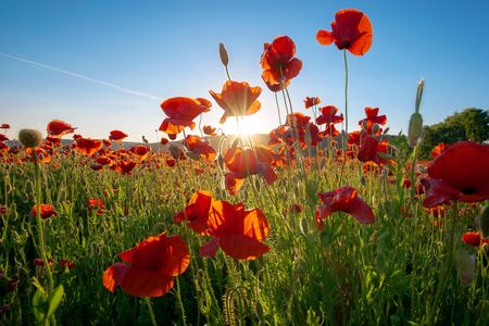 red poppy field landscape. beautiful landscape at sunset beneath a blue sky in spring. wonderful outdoor background