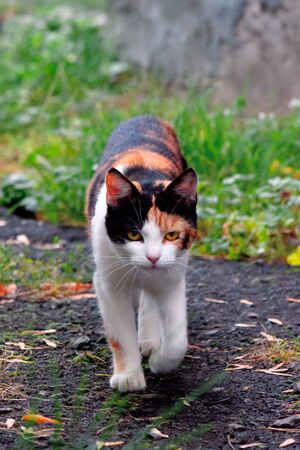 curious calico cat walking outside. predator in the autumn garden Stock Photo