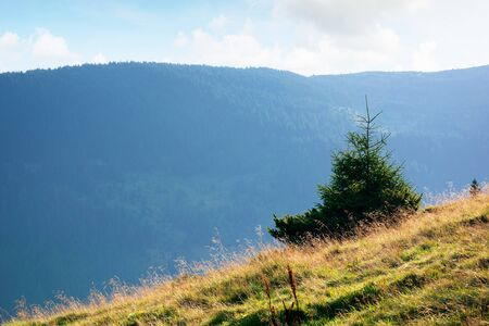 spruce trees on a grassy hill of Romanina mountains in soft morning light. beautiful nature scenery in late summer