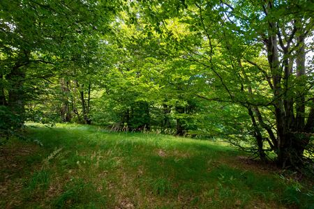 beech forest in summer.  trees in lush green foliage. beautiful nature scenery Stock Photo