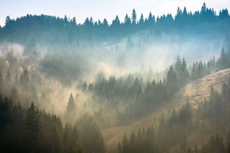 mist above the spruce forest on the hill. mysterious foggy weather in the morning. fantastic mountain scenery Stock Photo