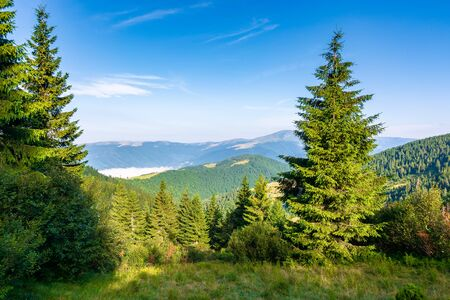 spruce trees on the meadow in mountains. beautiful sunny landscape with distant in highlands. amazing morning scenery. fluffy clouds on the blue sky Stock Photo