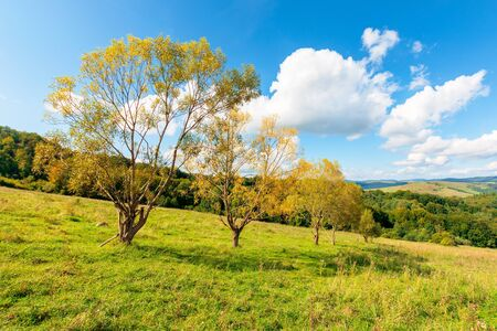 forest on the hillside meadow. beautiful countryside nature scenery. range of trees beneath a blue sky with fluffy clouds. sunny day in mountains