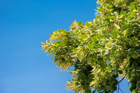 lush linden branch in green foliage. summer nature background. sunny weather with blue sky Stock Photo - 149620135