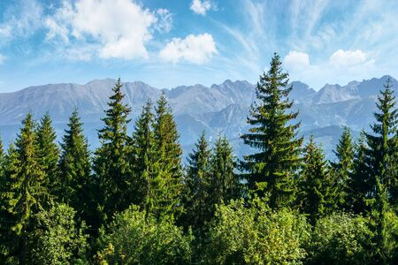 mountain landscape of poland. beautiful view in to the distant tatra ridge. popular travel destination. sunny weather with puffy clouds on the blue sky. spruce treetops in front Stock Photo