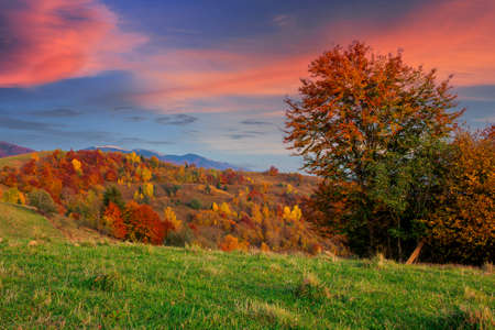 spruce forest on the hillside meadow. colorful grass in autumn. hills rolling in to the distance. cloudy day
