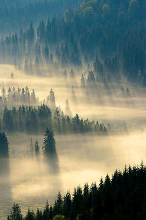 mist among the forest. spruce trees in the valley full of glowing fog. fantastic nature scenery in mountains at sunrise. view from above Stock Photo