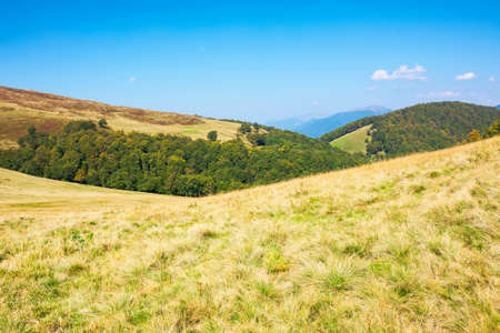 grassy meadow in mountains. beautiful landscape of transcarpathia on a sunny summer day. ridge in the distance. beech trees on the hills. blue sky