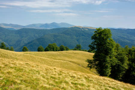primeval beech forest on the mountain meadow. beautiful landscape in summer. grass and trees on the hills. beauty of transcarpathian nature