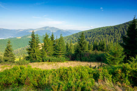fir trees on the mountain meadow. wonderful morning scenery in summer. fog in the distant valley. exploring carpathians concept. blue cloudless sky Stock Photo
