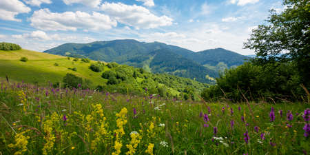 summer landscape in mountains. amazing scenery with wild herbs in fields on rolling hills of carpathians in dappled light. clouds on the blue sky above the distant ridge Foto de archivo