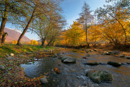 river in the forest. water stream among the stones. yellow foliage in morning light. beautiful scenery in mountainous landscape
