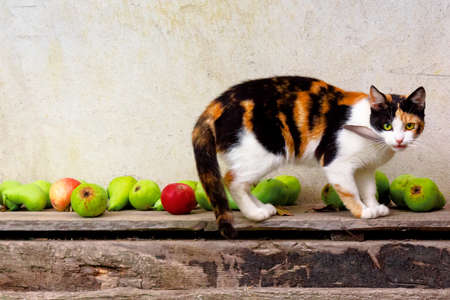 curious calico cat walking outside with feather in the mouth. predator in the autumn garden. fruit composition on the background. thanksgiving concept Stock Photo