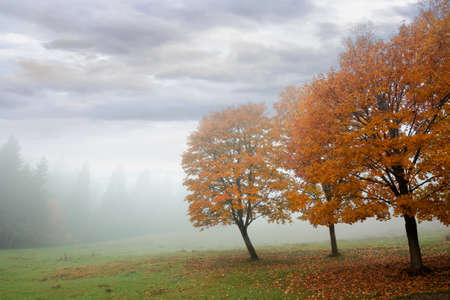 trees in the fog on the meadow. misty autumnal weather. overcast sky. fall season