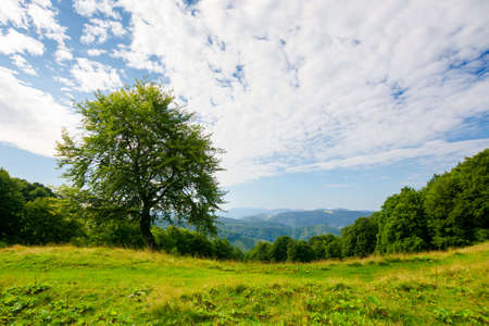 beech tree on the green alpine meadow. carpathian mountain landscape in summertime. wonderful sunny weather with clouds on the blue sky.